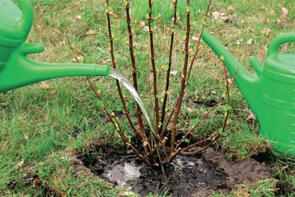 Planter des groseilles