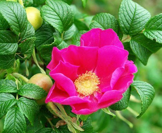 pourquoi une rose se transforme en une rose de chien que faire