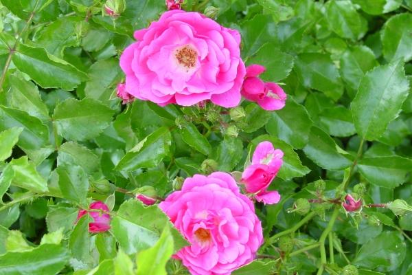 Planter des roses sauvages, prendre soin de la plante, méthodes de reproduction