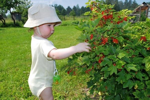 Comment prendre soin des groseilles noires, rouges et blanches après la récolte des baies?