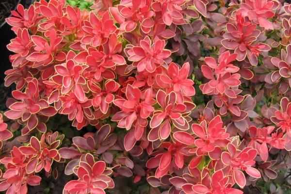 Description et caractéristiques des variétés d'épine-vinette Thunberg, plantation et soin