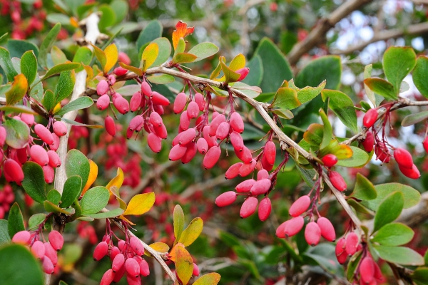 Description botanique de l'épine-vinette ordinaire, propriétés utiles, plantation et soin