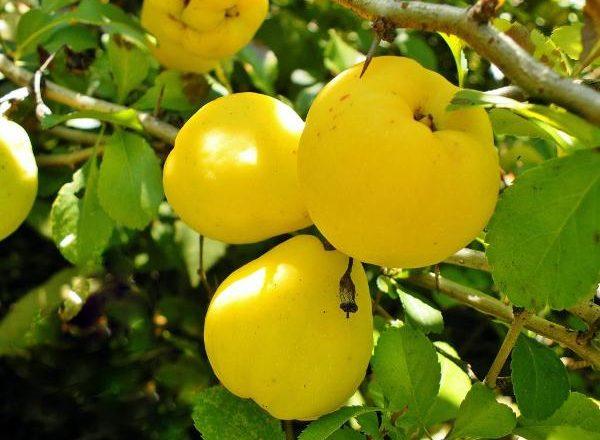 Fruits de coing