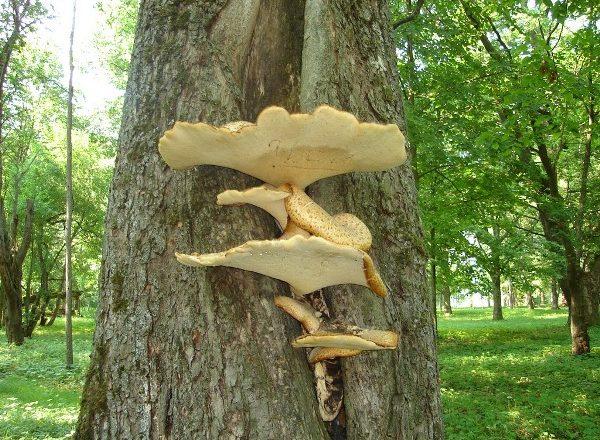 Champignons dans les arbres
