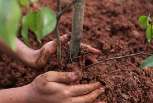 Planter des jeunes arbres fruitiers