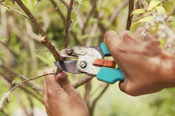 Taille des arbres fruitiers: pourquoi est-ce nécessaire et quand est-il effectué?