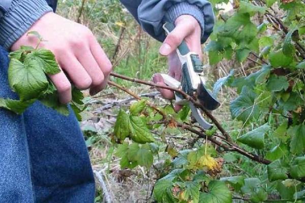 Élagage des groseilles noires, rouges et blanches à l'automne: guide du débutant