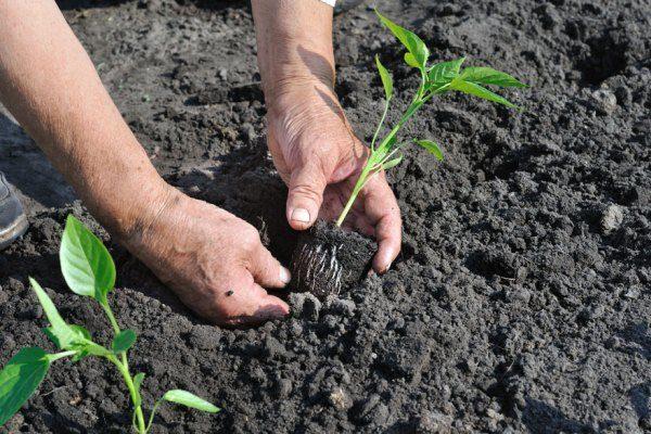 Planter du poivre: à quelle distance planter en pleine ...