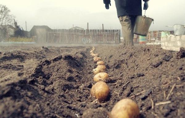 Planter des pommes de terre dans la région de Léningrad