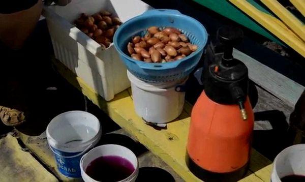 Faire tremper les oignons avant de planter