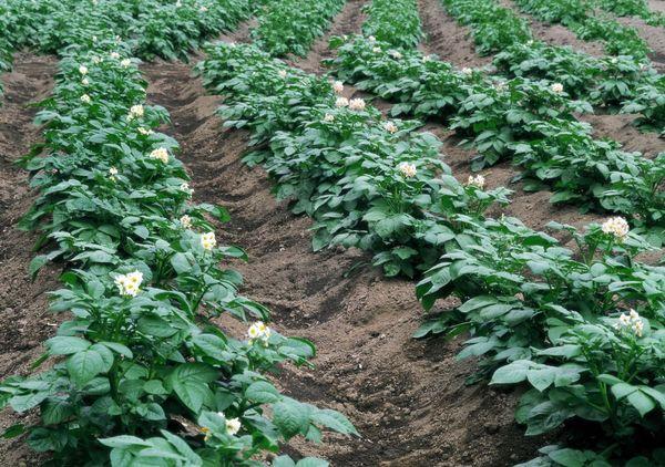 Planter des pommes de terre dans les crêtes