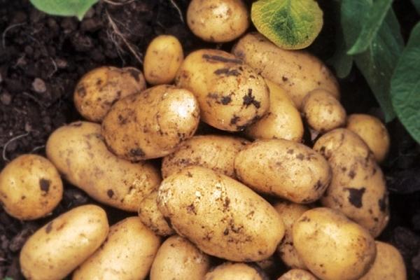 Description et caractéristiques de la variété de pomme de terre Adretta, conseils de plantation et d'entretien