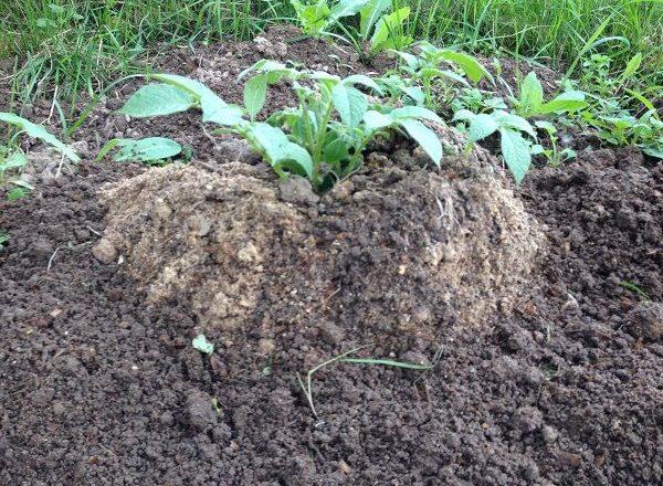 Cultiver des pommes de terre à l'aide de la technologie chinoise