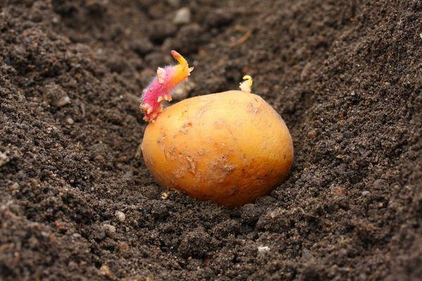 Planter des pommes de terre dans la région de Moscou