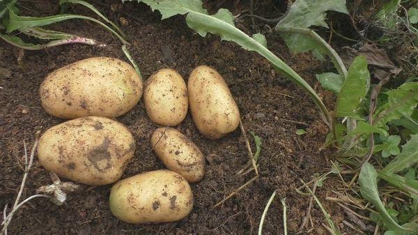 Siderates pour les pommes de terre