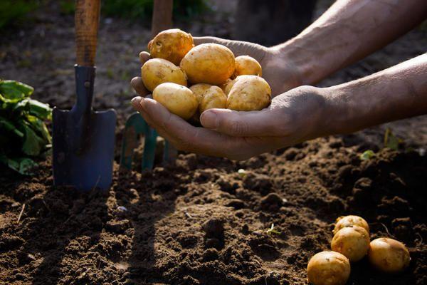 Conditions de plantation des pommes de terre