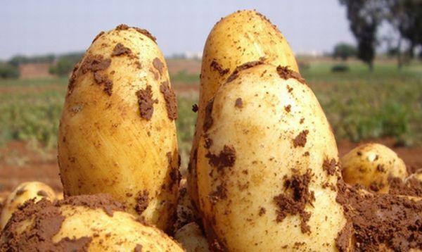 Description des variétés de pomme de terre Uladar