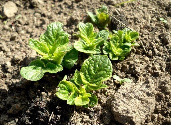Pommes de terre pousses après la plantation
