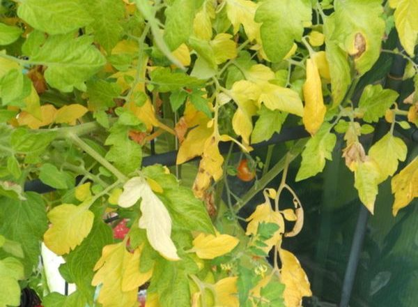 Pourquoi les feuilles de tomates jaunissent