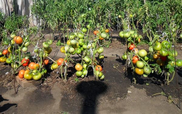 Culture de tomates selon la méthode de I. M. Maslov