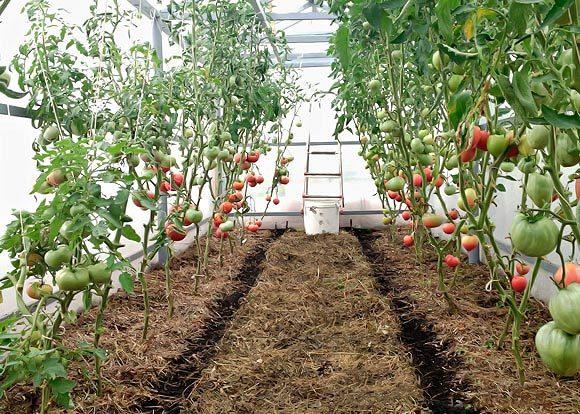 Paillage de tomates