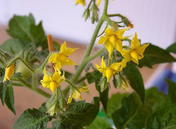 Pollinisation des tomates