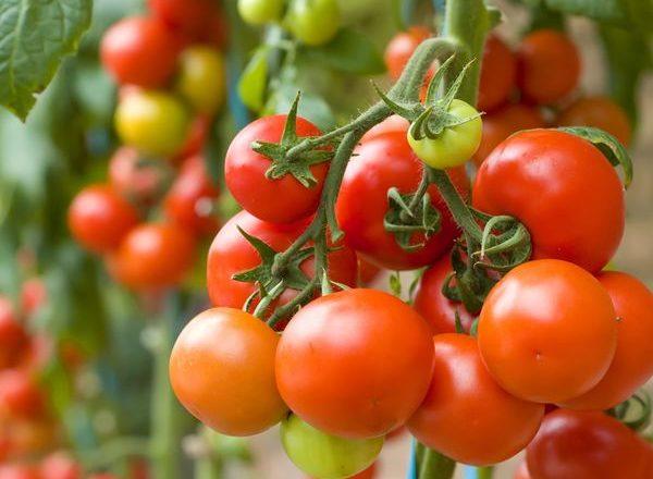 Que peut-on planter après les tomates