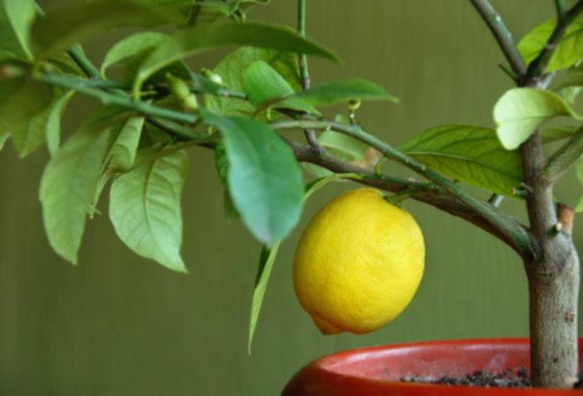 nourrir les citrons