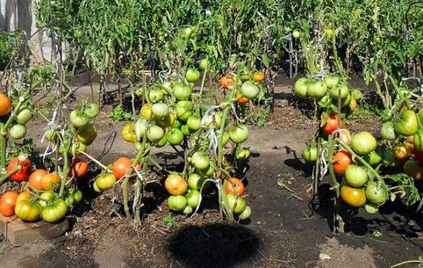 Ne tolérez pas brusquement les tomates de l'ombre au soleil.