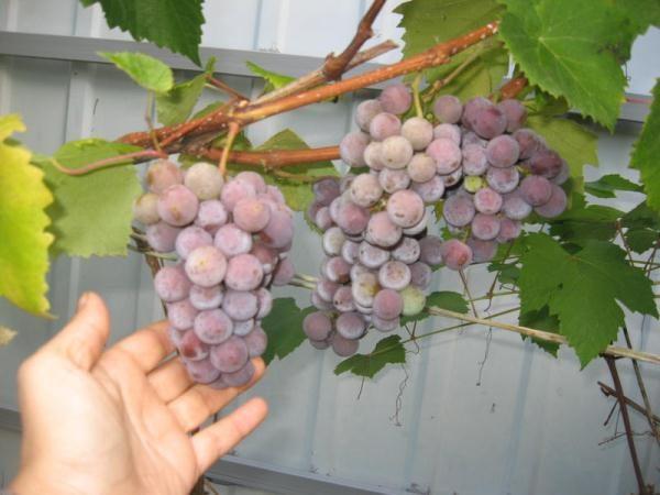 Il est préférable de cueillir les baies pour faire du vin au milieu de l'automne