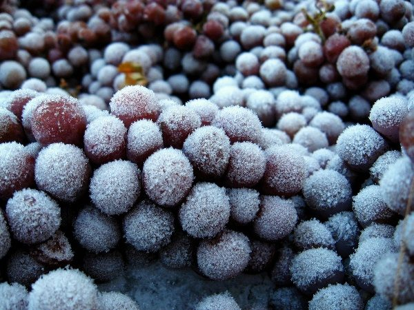 Pour faire du vin de glace, les baies doivent geler