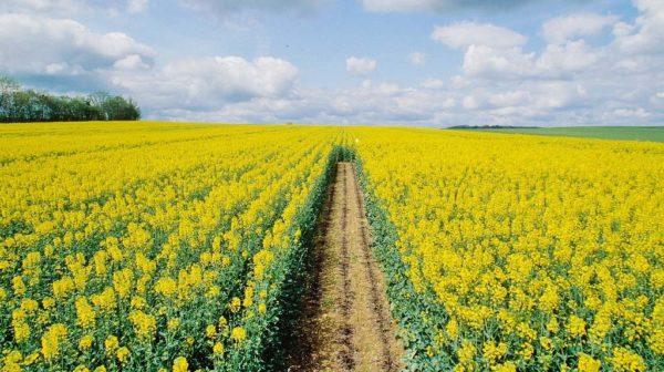 Le canola en tant que siderat est souvent planté dans les champs