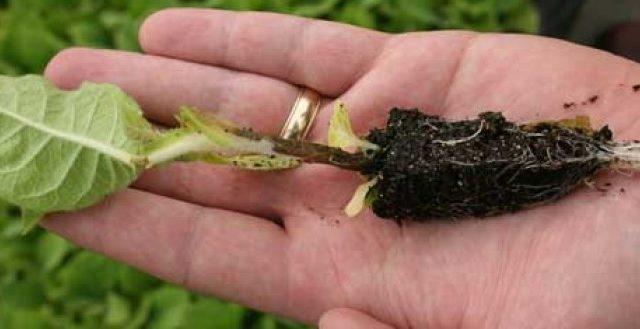 Jambe noire sur des plants de tomates