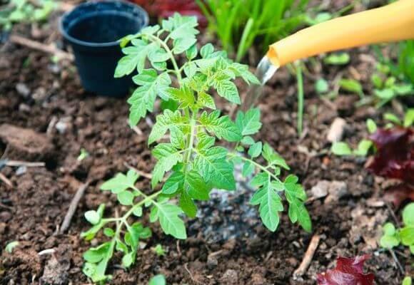 Pour améliorer la croissance, vous pouvez arroser les tomates avec des mélanges d'engrais.