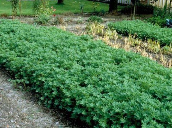 Lupin coupé 1,5 mois après la plantation