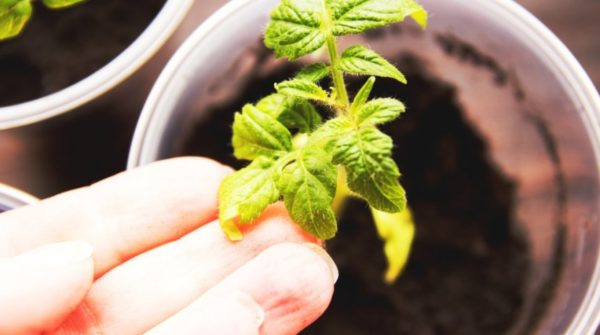 Les feuilles jaunes de tomates se bouchent
