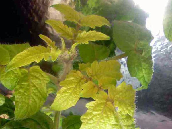 En raison d'un manque d'azote, les feuilles de la plante commencent à s'affaiblir et à jaunir.