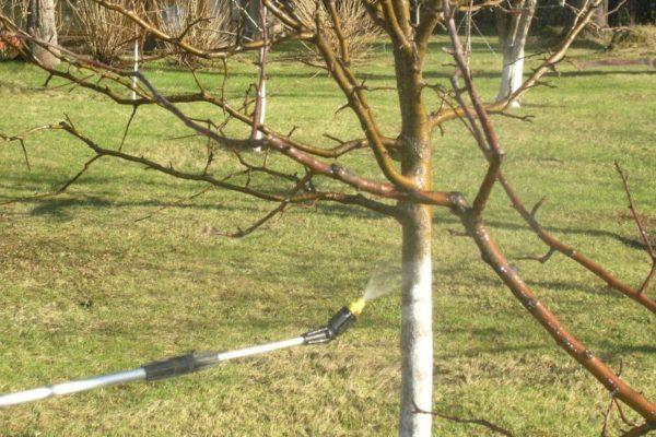 En plus des arbres, il est souhaitable de pulvériser les zones adjacentes