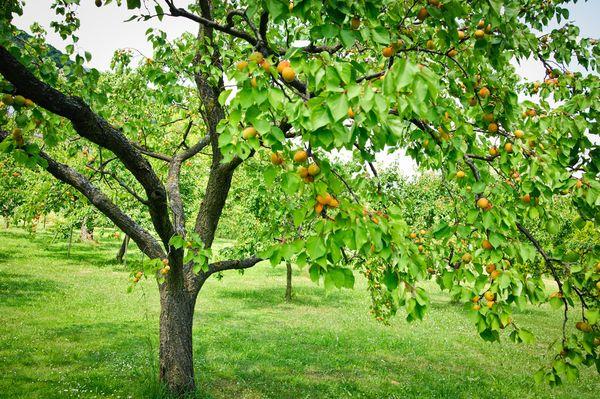 Alimentation d'abricot