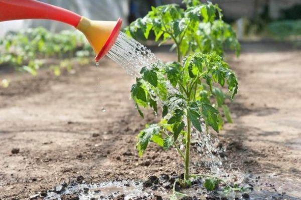 comment nourrir les plants de tomates