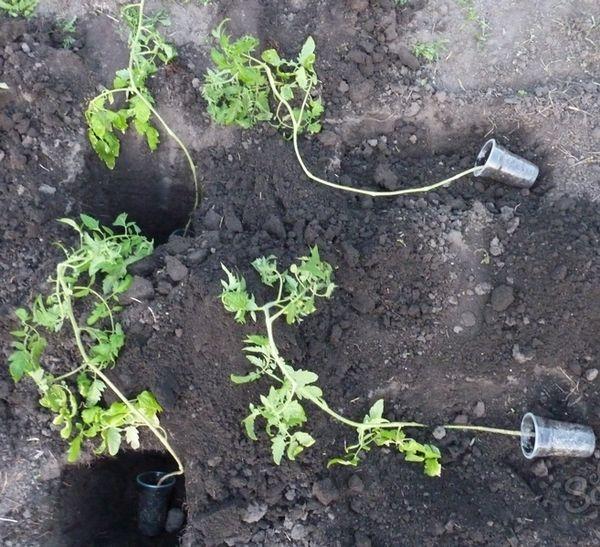 Comment planter des plants de tomates envahis
