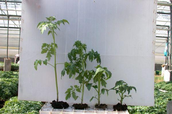 Les jeunes arbres fortement envahis ont une hauteur d'environ 50 à 60 cm