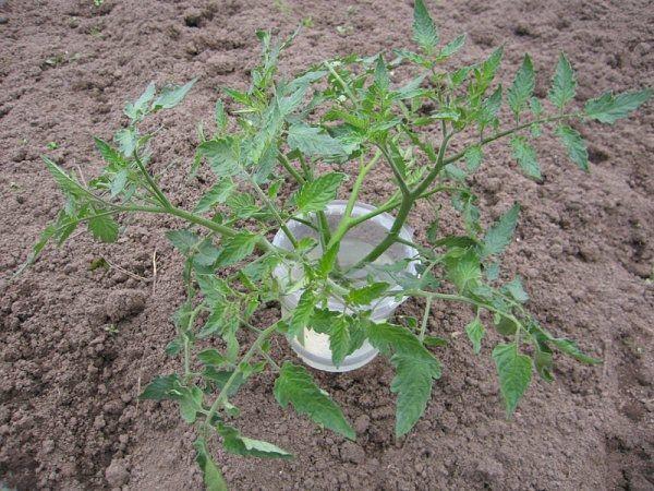 Les semis envahis peuvent être coupés en deux et développés en 2 semis