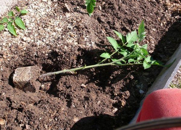 Les semis fortement envahis doivent être plantés en position couchée.