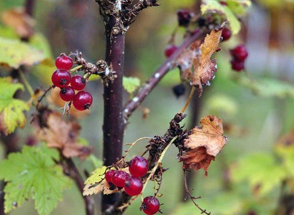 Soins pour les groseilles à l'automne
