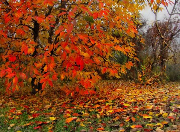 Top dressing de cerise à l'automne
