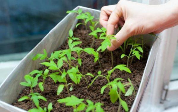 Soins pour les plants de tomates