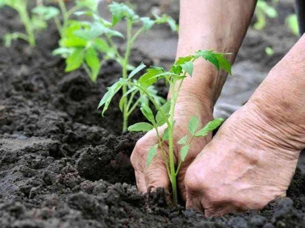 Transplantation de plants de tomates en serre