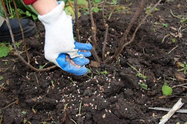 Les arbres fruitiers et les arbustes ont besoin d'engrais après la fructification
