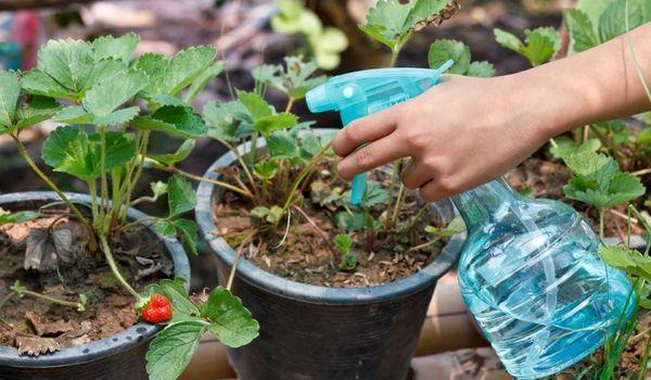 Utilisation du sulfate de magnésium pour les plantes